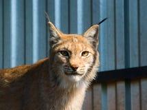 портрет lynx Стоковые Фотографии RF