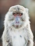 портрет macaque Стоковое фото RF