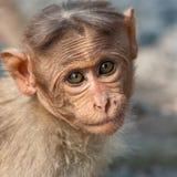 портрет macaque bonnet младенца Стоковые Фото