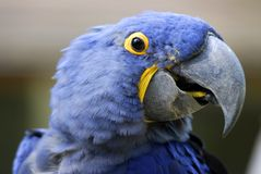 портрет macaw гиацинта стоковые фото