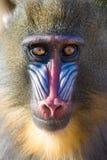 портрет mandrill Стоковое фото RF