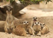 портрет meerkat группы Стоковое Изображение