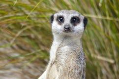 Портрет Meerkat Стоковые Изображения RF