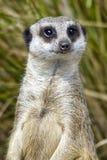 Портрет Meerkat Стоковые Фото