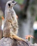 портрет meerkat стоковое фото