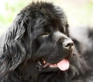 портрет newfoundland собаки Стоковые Изображения RF