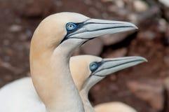 Портрет nortern gannets стоковое фото rf