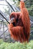 портрет orangutan Стоковое Изображение RF