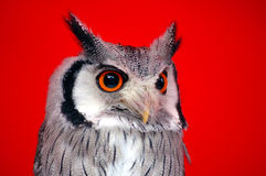 портрет owlet Стоковые Фото