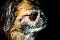 Портрет Pekingese - чернота изолированная голова собаки Стоковое Изображение