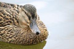 Портрет platyrhynchos Anas кряквы или дикой утки женщины Стоковые Фотографии RF
