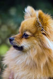 Портрет Pomeranian стоковое фото rf