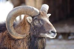 Портрет Ram Bighorn Стоковые Изображения