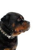 Портрет Rottweiler Стоковые Изображения