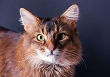портрет rudy кота сомалийский стоковая фотография