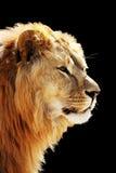 портрет s льва Стоковое Фото