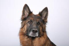 Портрет ` s Alfie собаки Sheperd Germen на Black&white Backround Стоковое Фото