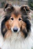 Портрет sheepdog Shetland Стоковое фото RF