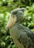 Портрет shoebill - одна из интересных больших птиц стоковое изображение rf