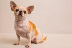 Портрет shot-5 собаки Стоковые Фото
