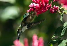 Портрет Snowy-bellied колибри, Панамы стоковое фото rf