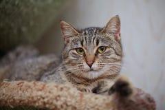 Портрет striped лежа кота Стоковое Фото
