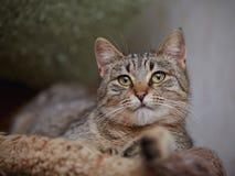 Портрет striped лежа кота Стоковые Изображения RF