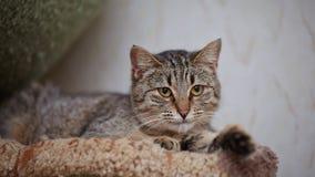 Портрет striped лежа кота Стоковая Фотография