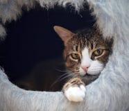 Портрет striped кота в ложе ` s кота Стоковая Фотография