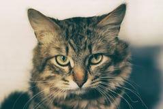 Портрет striped кота племенника красивого молодого на светлом крупном плане предпосылки Стоковое Фото