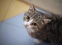 Портрет striped кота сфотографированного сверху Стоковое Фото