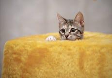 Портрет striped кота с белыми лапками Стоковое Фото
