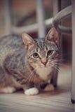 Портрет striped кота с белыми лапками Стоковые Изображения RF