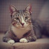 Портрет striped кота с белыми лапками Стоковая Фотография