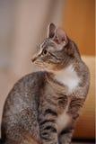 Портрет striped кота Стоковое Изображение