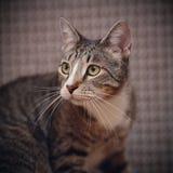 Портрет striped кота Стоковая Фотография RF
