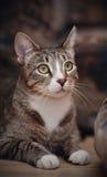 Портрет striped кота Стоковые Изображения