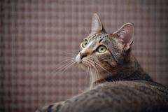 Портрет striped кота Стоковая Фотография