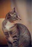 Портрет striped кота Стоковые Фото