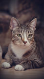 Портрет striped кота Стоковые Фотографии RF