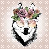 Портрет Vecotr собаки, носящ флористические венок и солнечные очки Порода сибирской лайки Стоковые Изображения RF