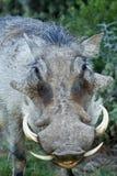 Портрет Warthog Стоковая Фотография