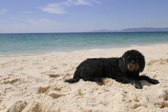 Португальская собака воды с песком на ее носе Стоковые Изображения