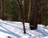 Поручать самцов оленя Стоковое Изображение