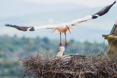 Посадка аиста в гнезде Стоковая Фотография RF