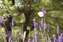 Посадка бабочки на цветке лаванды стоковое изображение rf
