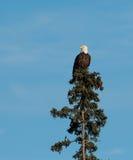 Посадка белоголового орлана в дереве Стоковое фото RF