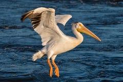 Посадка белого пеликана в Миссиссипи стоковая фотография rf