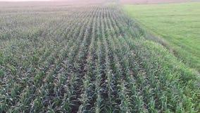 Посадка над кукурузным полем сток-видео