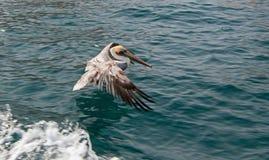 Посадка пеликана Брайна на воде в море Cortes в Cabo San Lucas в Нижней Калифорнии Мексике Стоковое Изображение